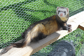 MWT_Animals_4_Ferret