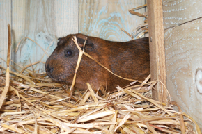 MWT_Animals_7_GuineaPig